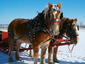 Two draft horse stand in winter snow field with sleigh bells around neck and sleigh behind.